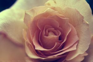 Rose VII by reinah