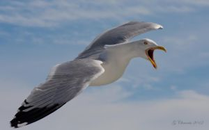 Seagull by MacGeizer