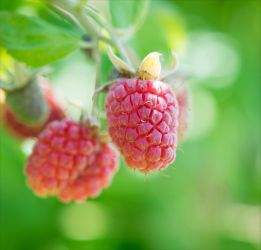 Raspberry by Aenea-Jones