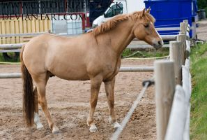 Red Dun Pony by Colourize-Stock