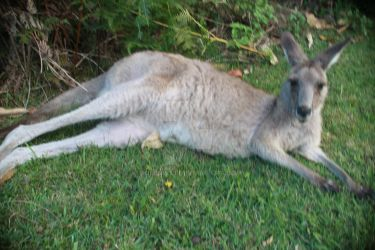 Chilling kangaroo by Dominik19