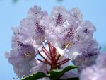 Rhododendron Flower by TreeStudioUK