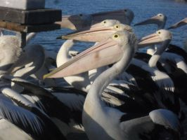 pelicans 2 by the-denied