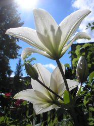 White lily 2f by Flicksi