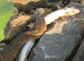 Northern Water Snake Eats Fish by ce3Design