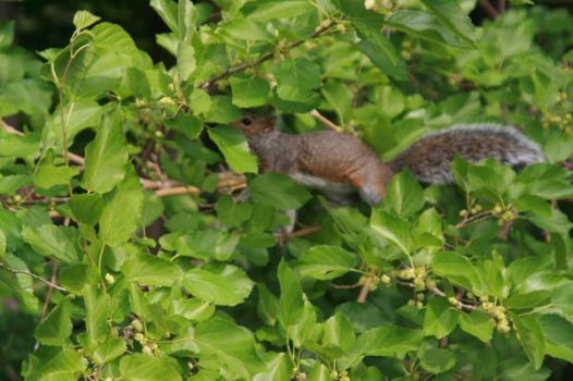 squirrel by akasha-and-me
