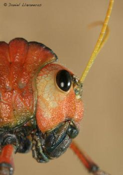 Hopper head, side view. by Insect-Lovers-Club