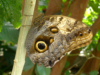 Owl-Eye Butterfly At the Zoo by Nellymoose118