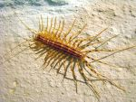 House Centipede I by hotrats51