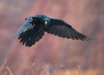 Raven In Flight by Sergey-Ryzhkov