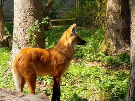 Maned Wolf - 5 by Delragon