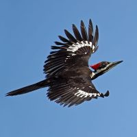 Pielated Woodpecker by knighttemplar1