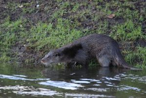 Otter on the bank of the Little Ouse river by pell21