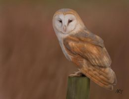 Barn Owl by jinkies36