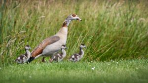 Egyptian Goose Mom by PaulaDarwinkel