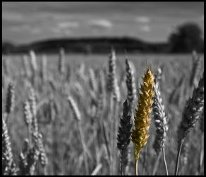 Wheat by ThePraiodanish