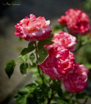 The magic of roses (VI). by Phototubby