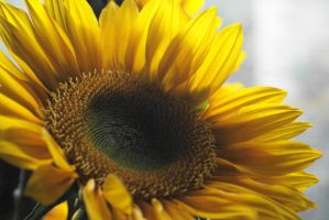 Sunflower by alrach
