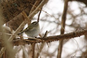 Side view of a Golden-Crowned Kinglet 2017 by natureguy