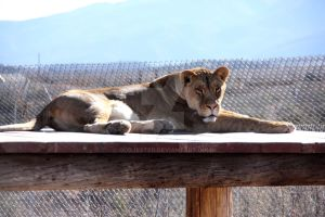 Lioness by oddjester