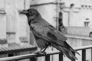 Tower of London Raven by FrlMahlzeit