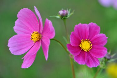 Yet another Cosmea by OfTheDunes