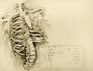 anatomical drawing 01 ribcage by niitsvee