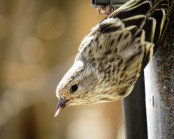 Cheese and Pine Siskin by CRG-Free