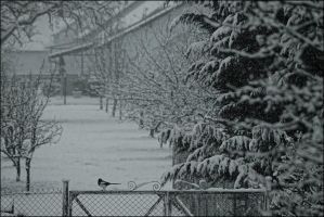 The Magpie by LiveInPix