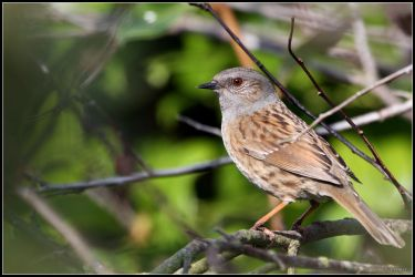 Dunnock by cycoze