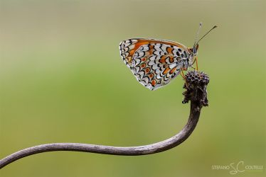 Butterfly by Stefano-Coltelli
