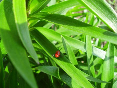 Asian Lily Beetle by RuriSukai