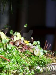 Yellow Wood Sorrel in a bonsai pot. by KittyrinnAiko