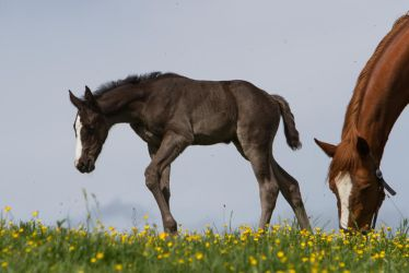 WB Foal Walking Stock by LuDa-Stock