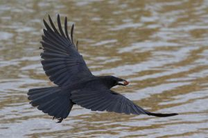 Crow with Nut 03 Stock by lokinststock