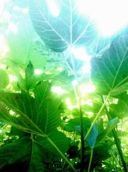 Leaves all aglow by Wyvanna