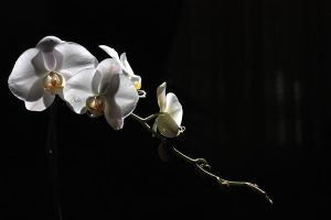 Orchid I by 1001G