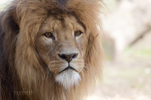 Armani, the king. by Ravenith