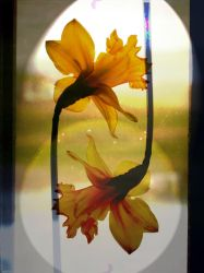 Reflective daffodil spring 2016 by merearthling