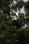 Eagle by caillteone