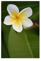 frangipani by down-with-tyler