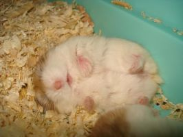 Sleeping Hamster by totoro78
