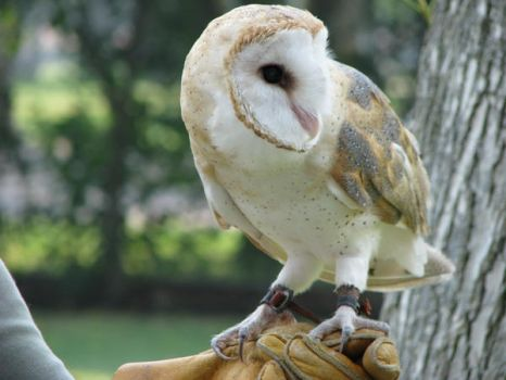 Barn owl 7 by CRStock