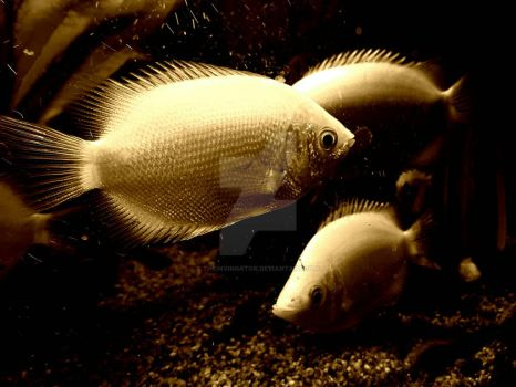 Kissing Gouramis by TheInvingator