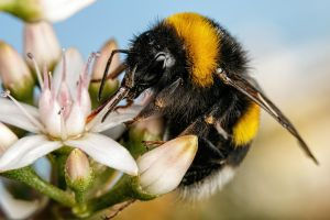 First Bumblebee of 2016 by dalantech