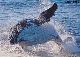 Whale out of water at Gold Coast Australia by colin6969