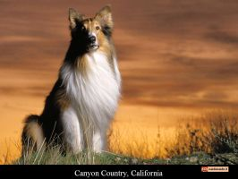 Lassie by Dionne9