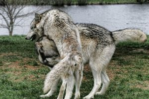 WOLVES PLAYING by Yair-Leibovich