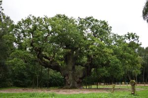 DSC 0031 The  Major Oak 4 by wintersmagicstock