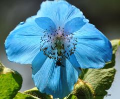 Another Himalayan Poppy by AlaskaGrl